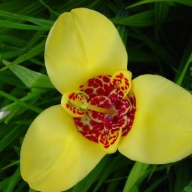 Tigridia pavonia 'Aurea'