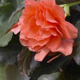 Begonia cascade zalmoranje