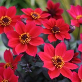 Dahlia 'Happy Days Cherry Red'