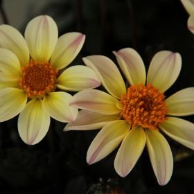 Dahlia 'Happy Days Lemon'