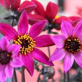 Dahlia 'Happy Days Purple'
