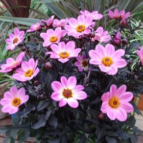 Dahlia 'Happy Days Pink'