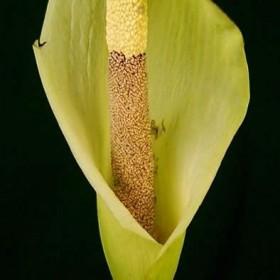 Amorphophallus napalensis