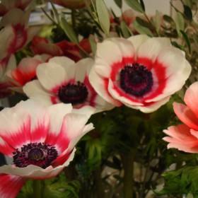 Anemone coronaria -bicolor...