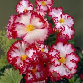 Begonia 'Crispa Marginata'...