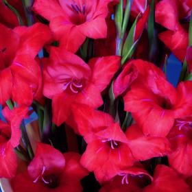 Gladiolus primulinus 'Mirella'