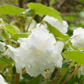 Begonia dubbel grootbloemig...