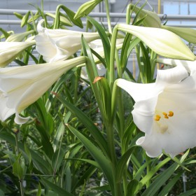 Lilium 'White Present'