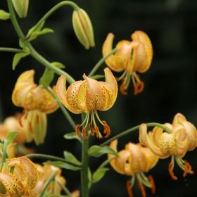 Lilium martagon 'Peppard Gold'