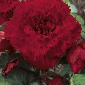 Begonia fimbriata rood