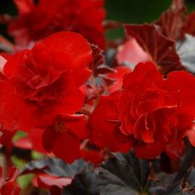 Begonia multiflora...