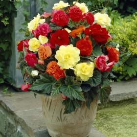 Begonia Non Stop -mix-