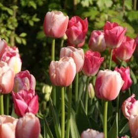 Tulipa 'Ollioules'