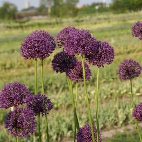 Allium altissimum sel....