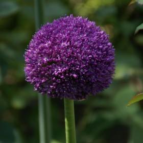 Allium 'Ambassador'®