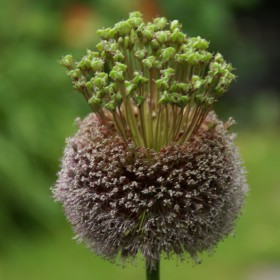 Allium 'Forelock'®