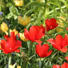 Tulipa batalinii 'Red Gem'