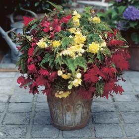 Begonia Pendula -mix-