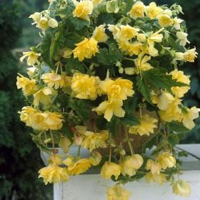 Begonia Pendula geel