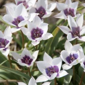 Tulipa humilis 'Alba...