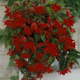 Begonia Pendula rood