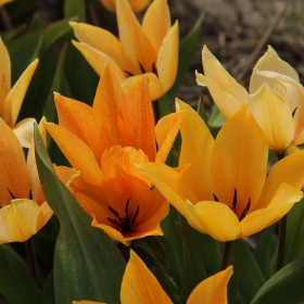 Tulipa praestans 'Shogun'®