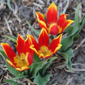 Tulipa schrenkii