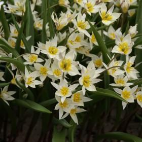 Tulipa turkestanica
