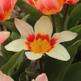 Tulipa 'Analita'