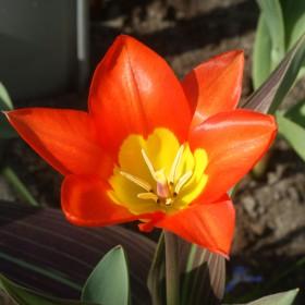 Tulipa 'Juan'